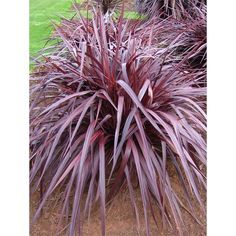 8l Cordyline Red Fountain 36 98 Available Bunnings Plants