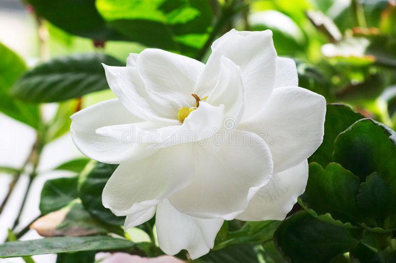 Gardenia Flowers Of Gardenia Affiliate Gardenia Flowers Ad Gardenia Plant Gardenia Trees Gardenia Shrub