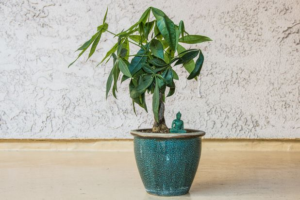 Care Instructions for a Money Tree Plant | Hunker | Money ...