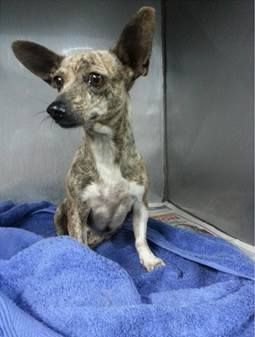 1669074 4 YO Chi- HBC Miami Dade https://www.facebook.com/urgentdogsofmiami/photos/pb.191859757515102.-2207520000.1419704890./897433026957768/?type=3&theater