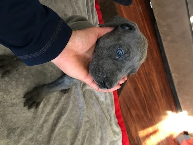 Litter Of 8 Great Dane Puppies For Sale In Jamestown Ny Adn 35338 On Puppyfinder Com Gender Female Age 5 Week Great Dane Puppies For Sale Great Dane Puppy