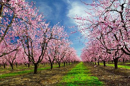 This Is My Favorite Picture Of Peach Trees In Bloom The Perspective Is Similar To What We Are Doing And I Love The Vibrant Peach Trees Yuba City Butte County