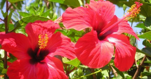 Texas Hibiscus Hibiscus Flower Drawing Hibiscus Plant Hibiscus