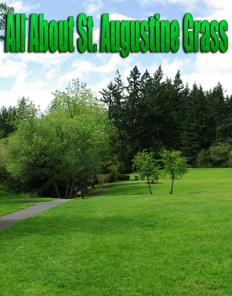 St. Augustine Grass. The coarse texture of the grass makes