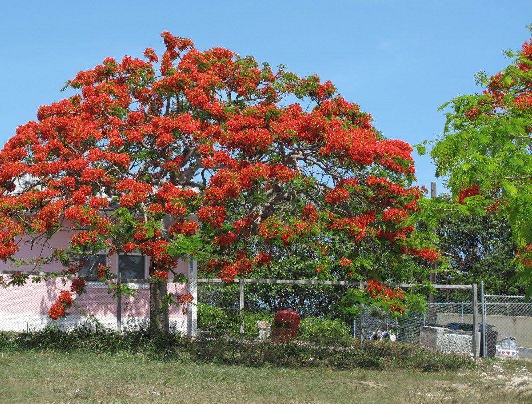 Daily Photo – January 26, 2016 abaco, bahamas, green turtle cay, poinciana tree