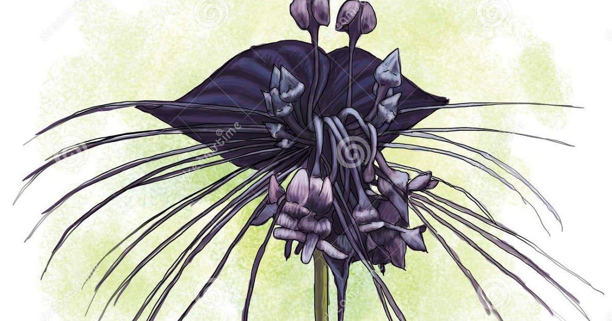Terkeren 30 Background Bunga Anggrek Hitam Black Orchid Flower Of Papua Indonesia Stock Illustration Download Anggrek Bulan P Di 2020 Bunga Wallpaper Bunga Gambar