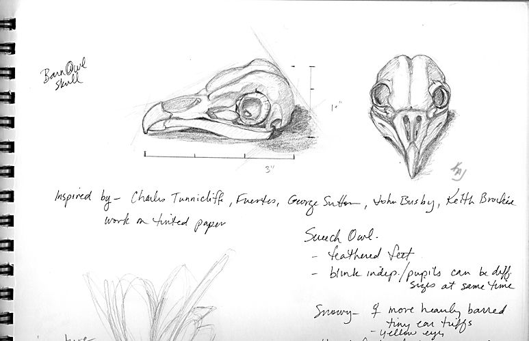 Barn Owl Skull How To Draw An Owl How To Draw Birds Studies And