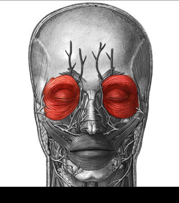 Bonito Orbicularis Oculi Colección de Imágenes - Anatomía de Las ...