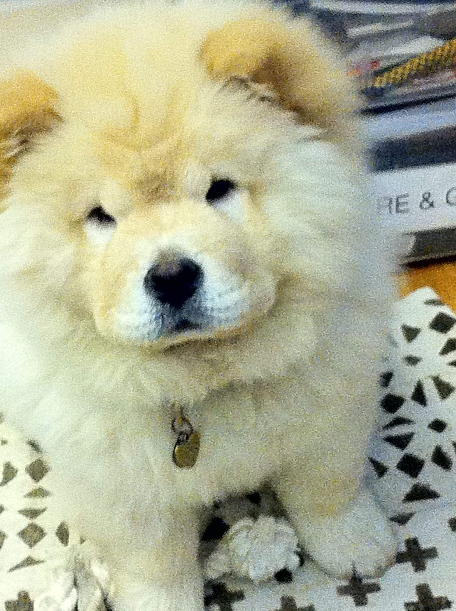 January Wanda Chow Chow Animals Dogs