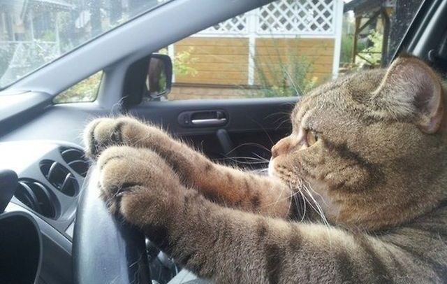 Cat driving!!