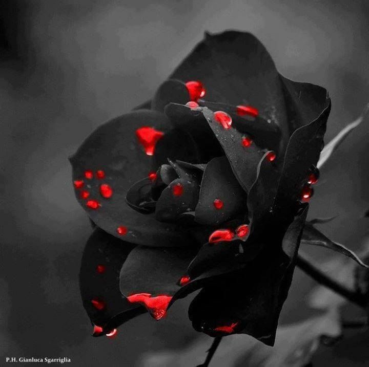 Black And Red Rose Blood Wallpaper