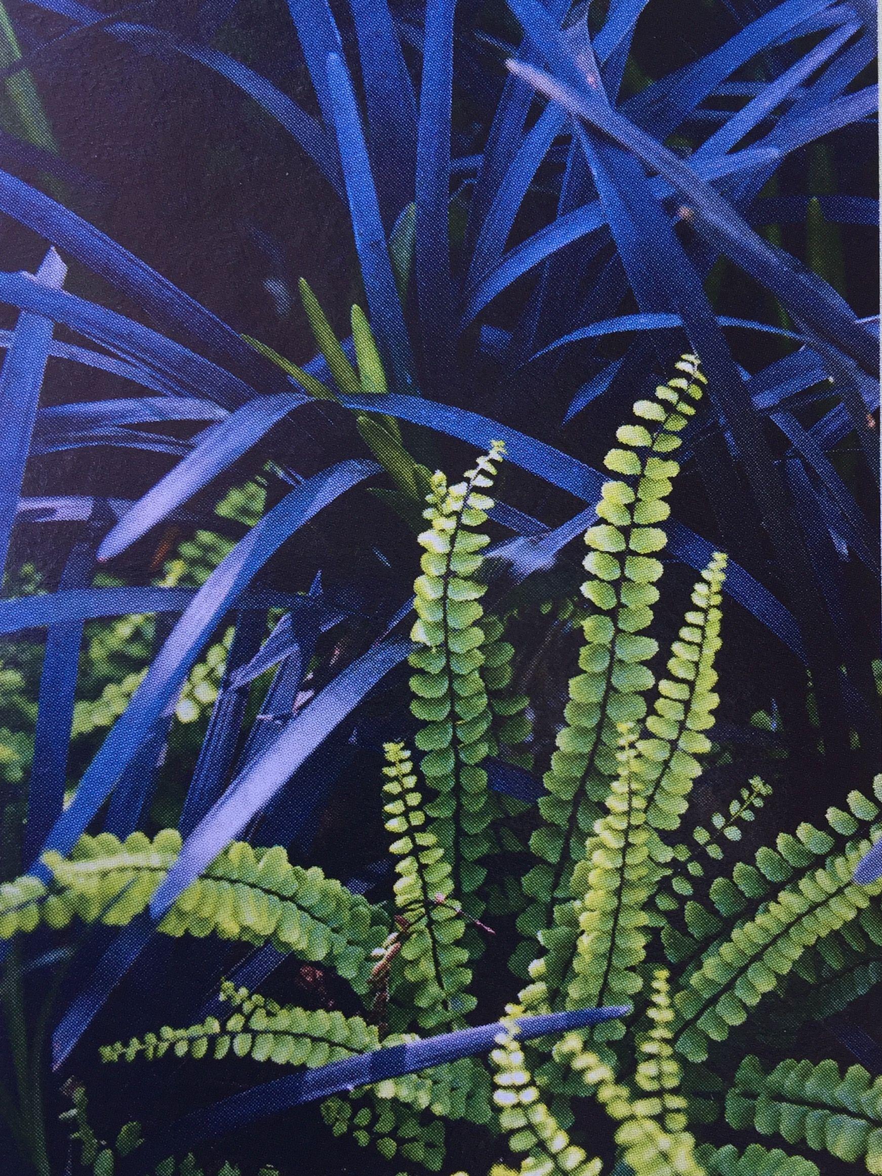 Svartbräken (Asplenium trichomanes) och mörkt ormskägg (Ophiopogon  planiscapus) 8922a0e489314