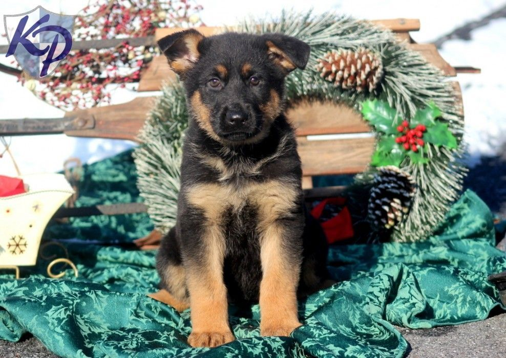 Lacey german shepherd puppy