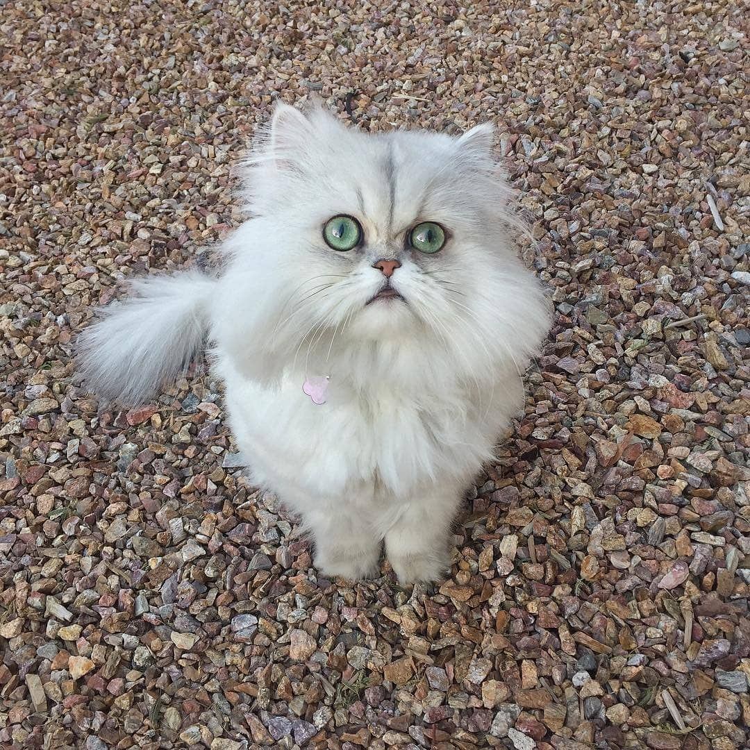 white persian cat tabby persian cat persian cats for sale persian cat price persian cat personality persian cat food persian cat black half persian cat#persiancat #catsoftheday #fluffycat #persiancats #persiancatsofinstagram #instameow #catoftheday #persiankitten #persiancatlife #adorablecat #persiancatlovers #persiancatsofi#persianchinchilla#persiancatworld #persiancats #persiancatlovers #persiancatstagram #persiancat_feature
