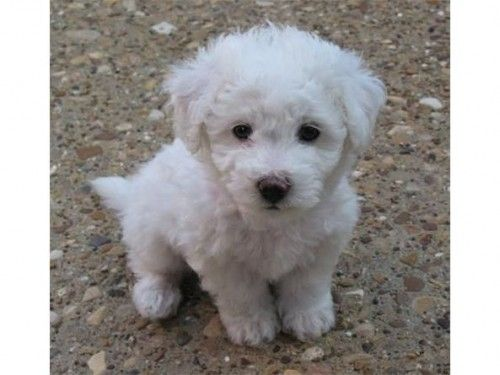 8 Week Old Bichon Frise Puppies For Sale Cuteness