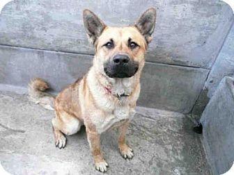 Pasadena Ca German Shepherd Dog Mix Meet Rocky A Dog For Adoption Http Www Adoptapet Com Pet 13419268 Pasadena Calif Shepherd Dog Mix Dog Adoption Pets