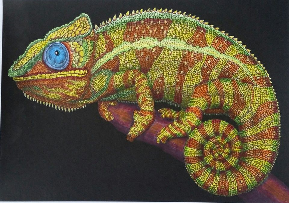Chameleon 3 Page 8 Alice R Tim Jeffs Animal Drawings