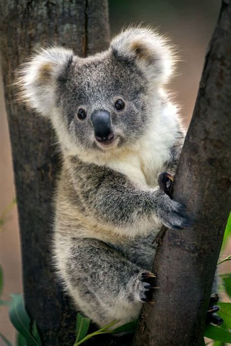 Koala Bear Koalas Cute Animals Animals Beautiful Animals