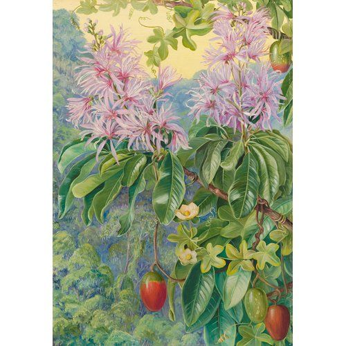 457. Wild Chestnut And Climbing Plant Of South Africa By