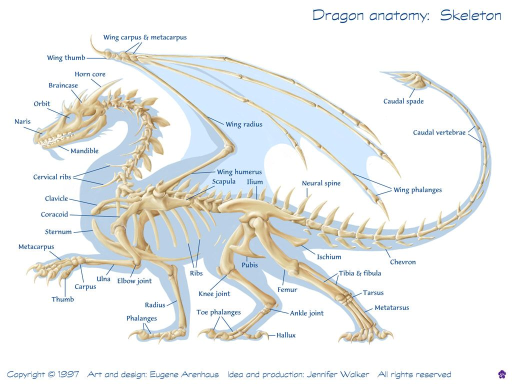 Dragon anatomy: Dragon anatomy - skeleton Because sometimes one ...