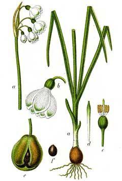 Leucojum Gravetye Giant (Giant Snowflake) Bulbs | DutchGrown®