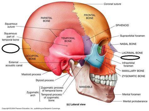 "sphenoid bone: an irregular bone; ""wedge like"" an unpaired cranial, Human Body"