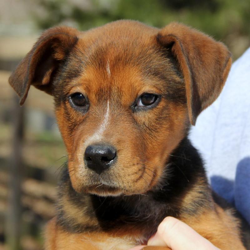 Adopt Tucker Adoption Pending On German Shepherd Mix Puppies