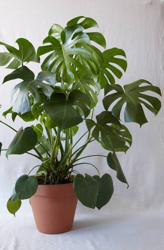 How to Care For Monstera Deliciosa Plants Indoors
