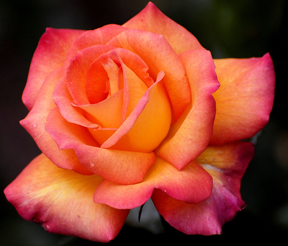 Rose Flower Picture Wallpaper Hd Wallpaper Wallpapermine Com