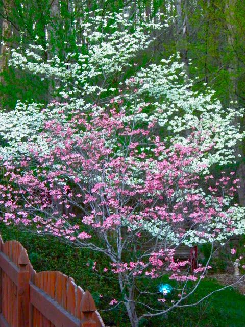 Spring Has Sprung Finally With Images Front Yard Landscaping Dogwood Trees Outside Plants