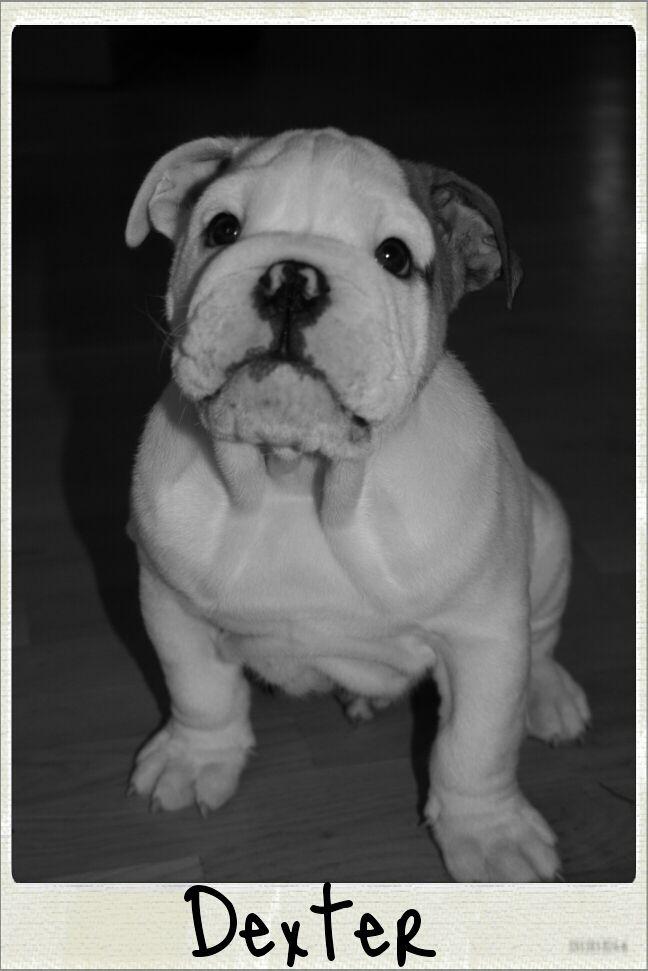 My English Bulldog puppy, Dexter. 9 weeks old.
