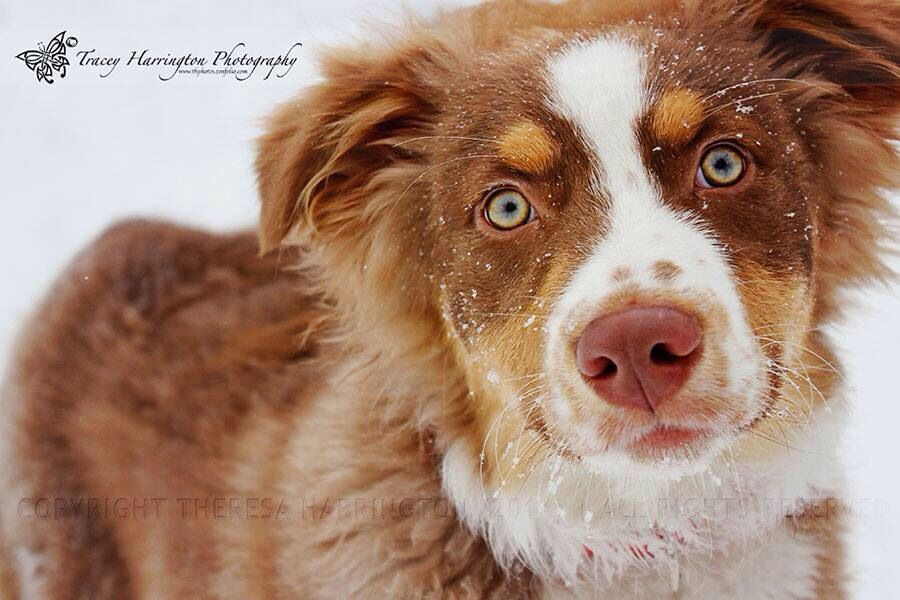 Red Tri Color Australian Shepherd Tracey Harrington Photography