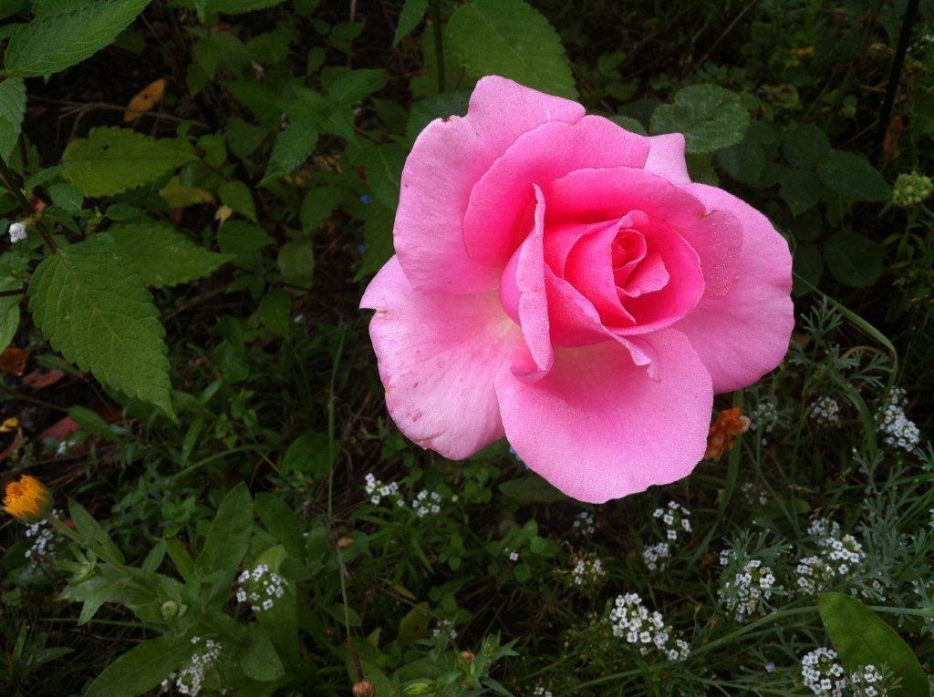 Mit dieser wunderbaren Geschichte wünsche ich euch einen 3. Advent voller Freude und Harmonie... :-)   http://heikeholz.wordpress.com/2013/12/15/die-bettlerin-und-die-rose/