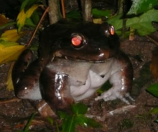Smoky Jungle Frog is definitely one of Costa Rica's most impressive frogs. Its enormous size and girth will consistently draw gasps of shock and, at times, horror from tourists They are Costa Rica's largest frog species and second largest amphibian. Only the Giant Marine Toad is bigger