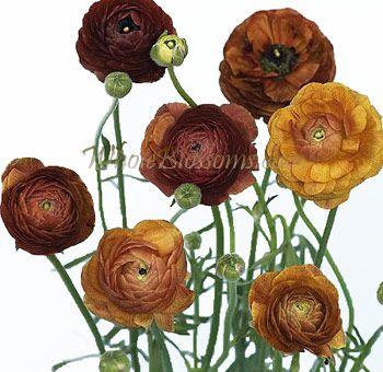 Dark Orange Ranunculus Google Search In 2020 Flower Farm Ranunculus Flowers Wholesale Flowers