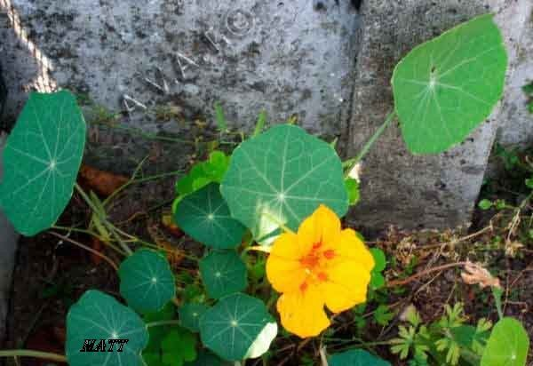 Capucine Feuilles De Plantes Enclos Tortue Plante
