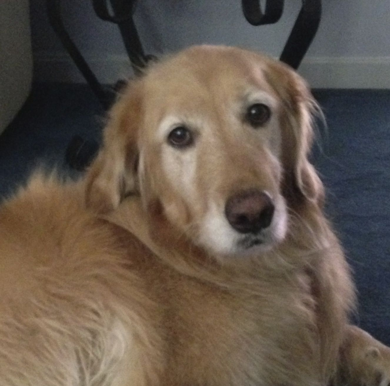 This is Ginger 7 yrs. She is potty & crate trained, has