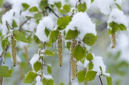 Snowfall in Spring. Young birch leaves in the snow. Snowfalls occur in May in Siberia.