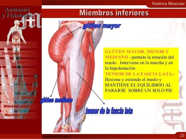 Sistema Muscular Morfología Fisiología Y Clasificación