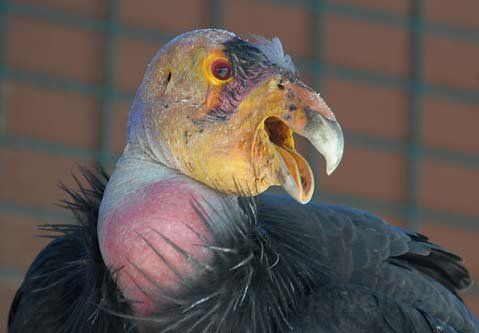 strong>Stately scavenger: </strong> The California condor's nine ...