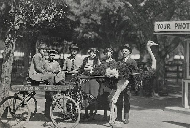 Ostrich At Cawston Ostrich Farm In South Pasadena California Ca 1910s South Pasadena Pasadena California History