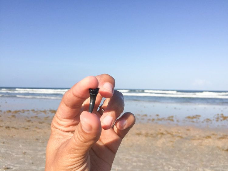 Shark Tooth At Micklers Beach Visit Jacksonville Fl Florida Beaches