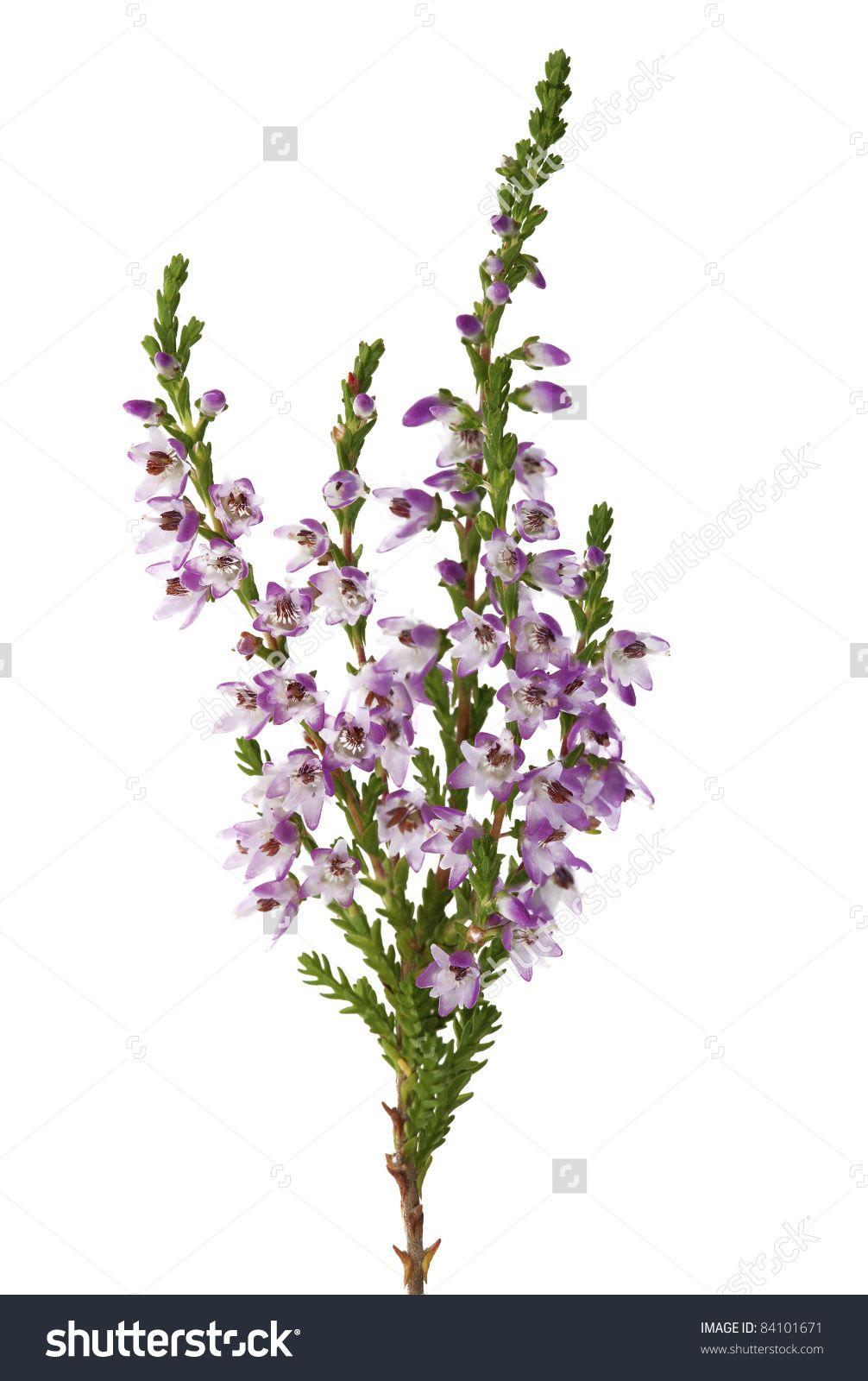 Image Result For Heather Sprig Flowers Purple Flowers Heather Flower