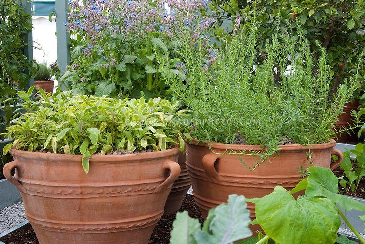 Herb Garden Containers: Salvia Culinary Sage, Rosemary Rosmarinus, Borage  Borago In Vegetable Garden