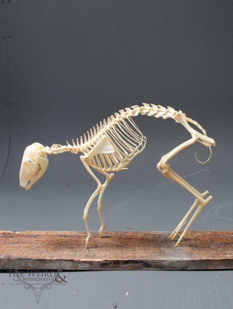 Javan Mouse Deer skeleton - (Tragulus javanicus) | Ritual ...