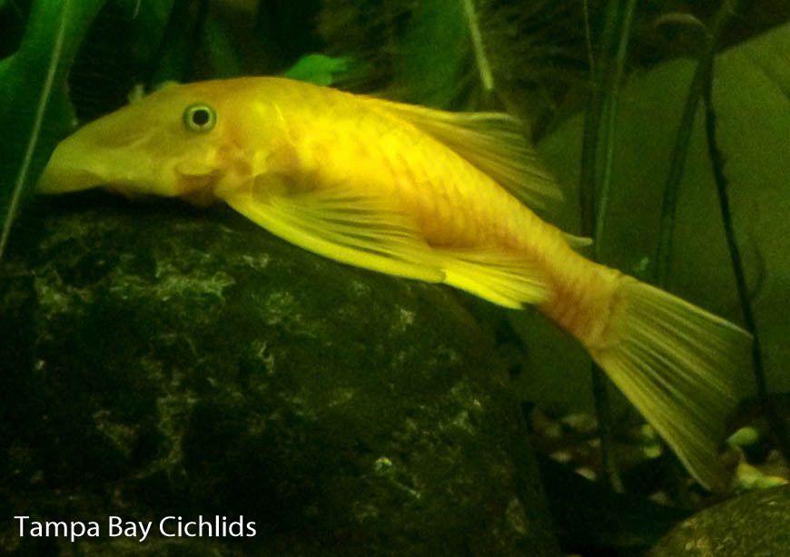 4 Blue Eye Lemon Bristlenose Plecostomus Ancistrus 1 0 Inch Live Fish Plecostomus Tropical Fish Store Tropical Fish