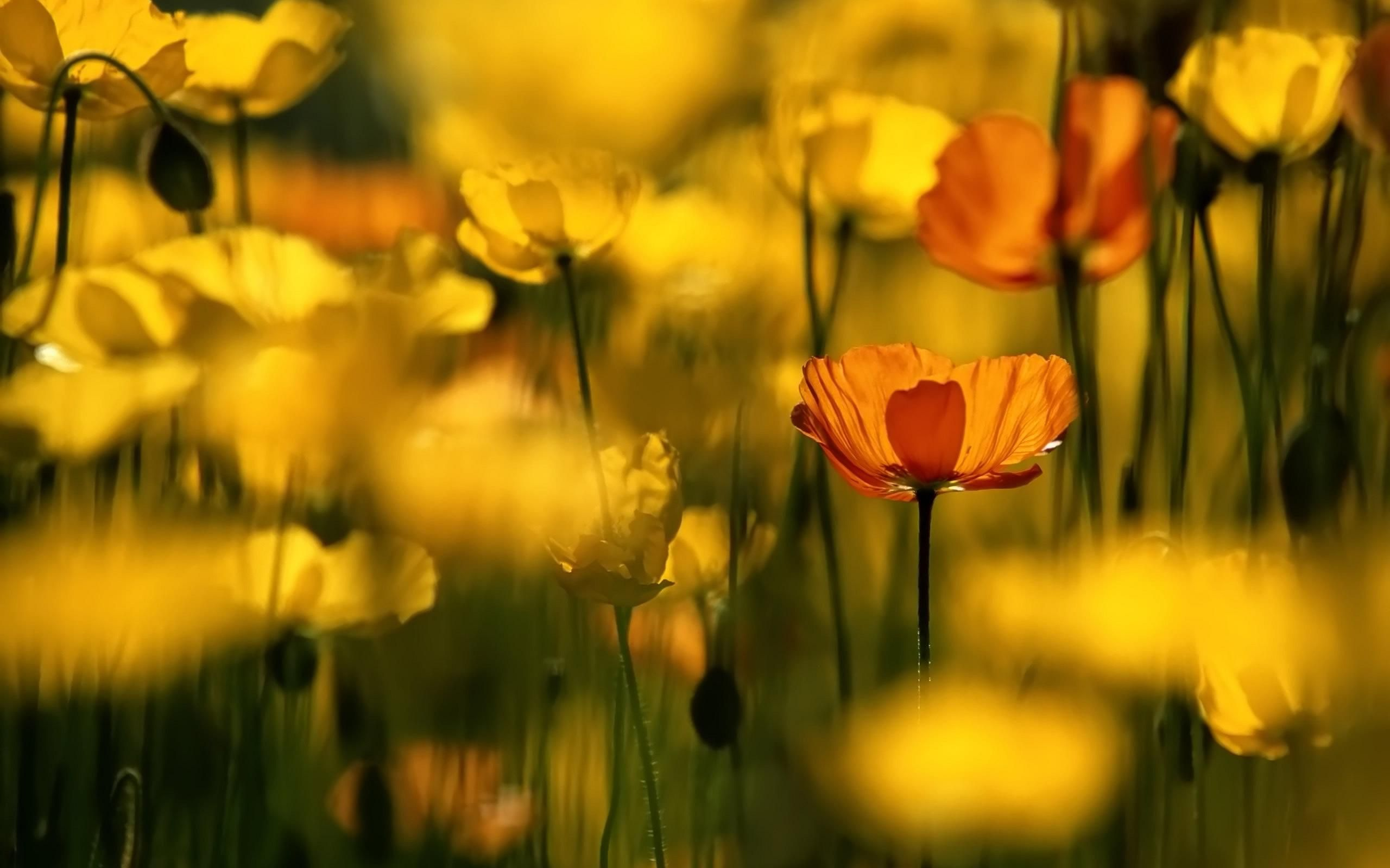 Cool Red Yellow Poppies Wallpaper Fantasy Pinterest