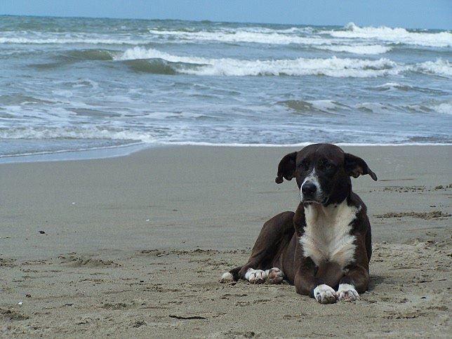 Dog on the beach of Puerto Viejo.