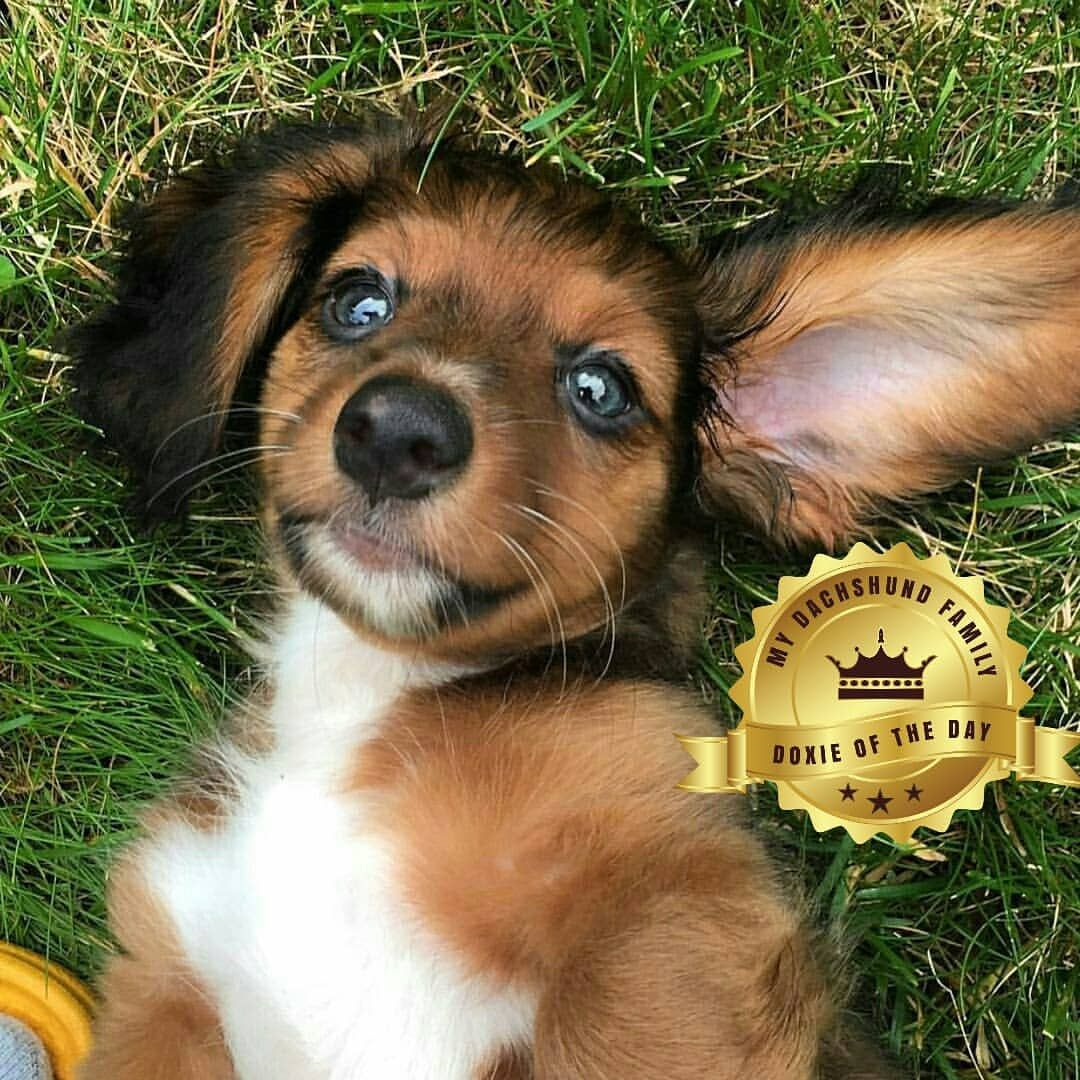 dachshund puppies oklahoma breeders