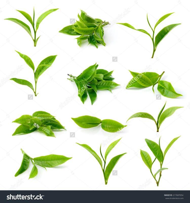 Green Tea Leaf Tattoo Idea 꽃 녹차 자연